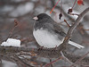 Female Dark Eyed Slate-colored Junco