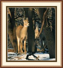 DSC 48895 (Vidterry) Tags: doe deer whitetaileddeer cedarriver deepwoods