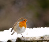 Fluffed up (tad2106 - Trudie Davidson Photography) Tags: winter snow festive robinredbreast gardenbirds britishbirds robim christmasimage