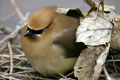 Tough day, I'm taking a short nap!!! (Vie Lipowski) Tags: bird nature wildlife cedarwaxwing bombycillacedrorum