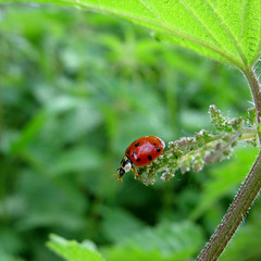 Ladybug on Nettle - My Ladybug should bring you Luck  -  Happy New Year 2010 !!! (Batikart) Tags: camera travel red vacation holiday plant black flower color colour macro green rot art texture nature leaves animal june closeup fauna canon bug insect square geotagged leaf spring flora europa europe peace belgium bokeh background wildlife urlaub natur beetle meadow wiese f100 ladybug grn makro wildflower blatt nettle insekt 2009 schwarz vacanze tier reise kfer frhling belgien a610 marienkfer glcksbringer luckycharm coleoptera damme coccinellidae frhjahr canonpowershota610 100faves 200faves fluginsekt viewonblack 300faves 400faves batikart 100commentgroup saariysqualitypictures