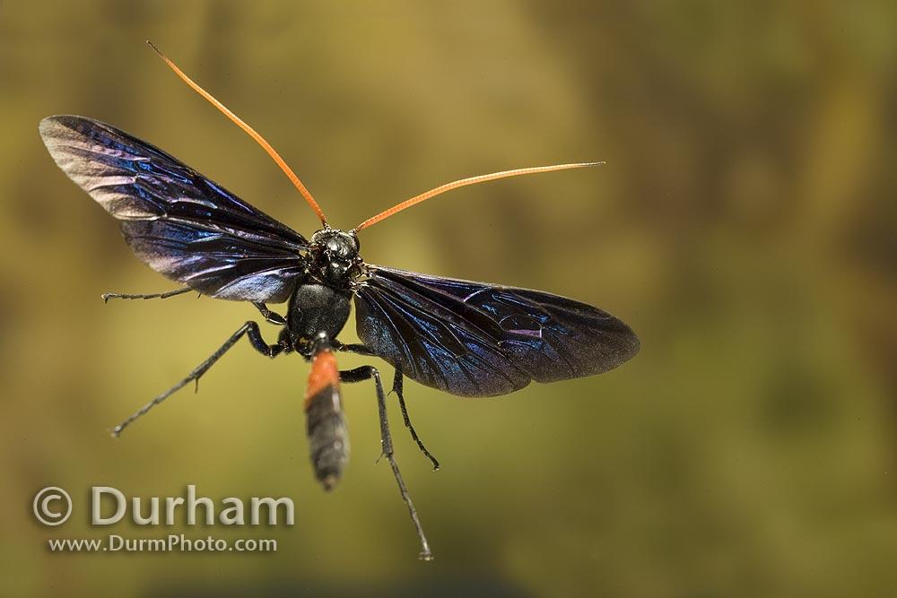 ornate ichneumon wasp