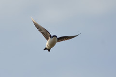 Tree Swallow DSC_4515 by Mully410 * Images