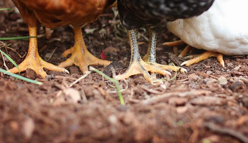 Chickens 332