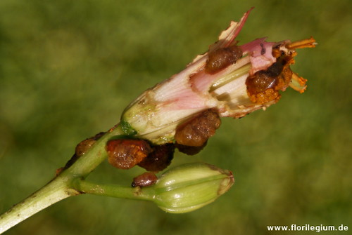 Larven des Lilienhähnchen, Lilioceris lilii (4)