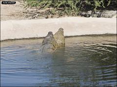 Crocoloco-IZE-280 (Zachi Evenor) Tags: zachievenor israel crocoloco crocolocofarm crocodilefarm crocodiliansfarm crocodile nilecrocodile crocodylusniloticus crocodylus niloticus crocodilia crocodilians haarava riftvalley צחיאבנור ישראל קרוקולוקו חוותקרוקולוקו חוותתנינים חוותתנינאים תניןהיאור תנין היאור תנינים קרוקודיל קרוקודילים תנינאים הערבה 2017 hatzeva 20170221 הזדווגות מזדווגים תניניםמזדווגים mating matingcrocs matingcrocodiles crocs