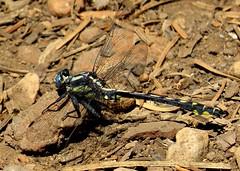 Pacific clubtail (Gomphus kurilis) dragonfly, Lake of the Woods, Arizona, June 2016 (Judith B. Gandy) Tags: gomphus clubtails dragonflies arizona insects invertebrates lakeside odonata gomphuskurilis lakeofthewoods pacificclubtaildragonflies clubtaildragonflies