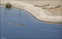 Crocoloco-IZE-222 (Zachi Evenor) Tags: zachievenor israel crocoloco crocolocofarm crocodilefarm crocodiliansfarm crocodile nilecrocodile crocodylusniloticus crocodylus niloticus crocodilia crocodilians haarava riftvalley צחיאבנור ישראל קרוקולוקו חוותקרוקולוקו חוותתנינים חוותתנינאים תניןהיאור תנין היאור תנינים קרוקודיל קרוקודילים תנינאים הערבה 2017 hatzeva 20170221