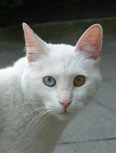 1384803-4-portrait-of-a-deaf-in-one-ear-cat