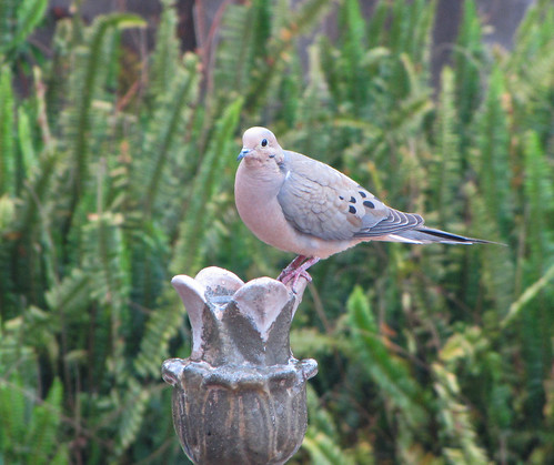 mourning dove on fountain