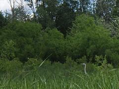 Parc de la Rivière-des-Mille-Îles, Heron