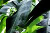 Tropical Foliage Fort Worth Texas Botanic Garden Conservatory Humidity Leaves Veins Ribs Rain Forest Jungle Lush DSC_5202 (David Kozlowski) Tags: mist leaves rain forest garden colorful texas fort shapes conservatory foliage jungle ribs tropical botanic worth veins lush humidity
