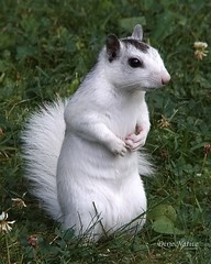 Here you go Charlie.  A long lost cousin of your squirrel family. (Dixie Native) Tags: bravo whitesquirrel naturesfinest whitesquirrels specanimal platinumphoto brevardnorthcarolina theunforgettablepictures brevardswhitesquirrels