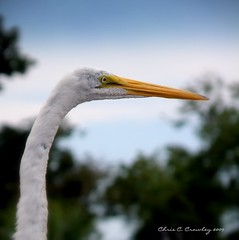 Great Egret Ready For Its Close Up (Chris C. Crowley) Tags: bird eye face animal florida wildlife beak waterbird greategret wader dreamscometrue ilovebirds southdaytona beautifulbirds chriscrowley onlythebestare reedcanalpark celticsong22 abwaterbirds greategretreadyforitscloseup
