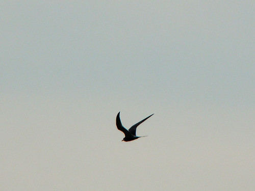 tern in flight 2
