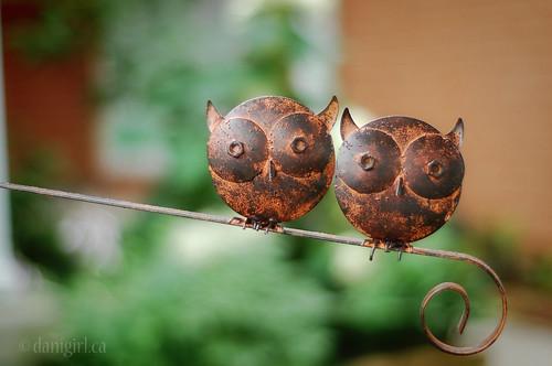 191:365花园猫头鹰