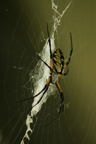 Yellow and Black Writing Spider - IMG_0675