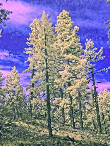 Summer Ponderosa in infrared