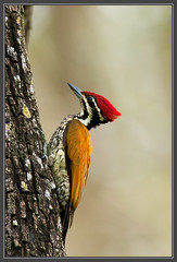 Common Flameback ~ Nagarhole (The Eternity Photography) Tags: india bird tourism nature animal forest canon nationalpark woodpecker asia wildlife safari jungle 600 karnataka 2009 sanctuary wildlifesafari southindia digitalphotography gamedrive nagarhole supertelephoto flameback supertele 600mm indiatourism wildlifephotography wildindia indianwildlife karnatakatourism picidae incredibleindia nagarholetrip canonllens iloveindia nagarholenationalpark 40d goldenback canon600mm canoneos40d commonflameback dinopiumjavanense canon40d visitindia natureislovely canonef600mmf4lisusm santanubanik theeternity birdinginthewild savethewildlife     iloveindianwildlife    wwwfrozenforeternitycom birding600mm southindiaforest