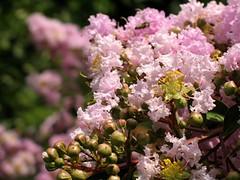 (Tölgyesi Kata) Tags: botanikuskert botanicalgarden füvészkert budapest withcanonpowershota620 selyemmirtusz lagerstroemia crapemyrtle lagerströmien blossom fleur virág