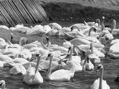 Mute swans at Abbotsbury (Missy2004) Tags: swan abbotsbury impressedbeauty impresedbeauty pfosilver mutesswans abbotssburyswannery