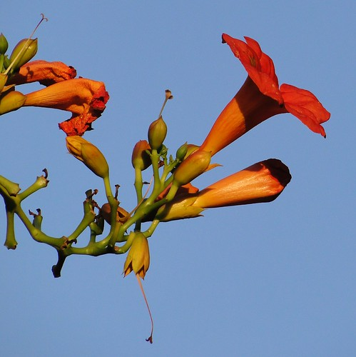 "trumpet vine • <a style=""font-size:0.8em;"" href=""http://www.flickr.com/photos/10528393@N00/3946866602/"" target=""_blank"">View on Flickr</a>"