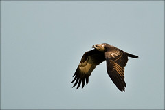 Black Kite (Milvus migrans) (Z.Faisal) Tags: kite black green bird nature beak feathers aves milvusmigrans blackkite bangladesh avian bipedal bangla faisal desh chil zamir savar milvus migrans pakhi endothermic jahangirnagaruniversity zamiruddin bhubon zamiruddinfaisal zfaisal bhubonchil