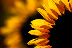 Tournesol, ou grand soleil, Helianthus annuus, Egly, France 2009 (Baloulumix) Tags: macro art nature fleur plante photography soleil photo julien lumire jardin zen   tournesol             vgtal   jardinzen   jardinplante baloulumix  wonderfulworldofflowers vosplusbellesphotos  updatecollection  jaunebaloulumix fourniol fournioljulien julienfourniol