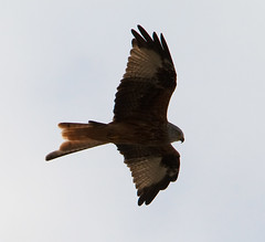 IMG_2894 (Bucks nature tog) Tags: uk red england kite bird beauty natural wildlife tag united chilterns buckinghamshire kingdom kites tagged raptor area british prey carrion soaring princes geo geotag bucks m40 outstanding aonb risborough milvus of reintroduction reintroduce reintroduced