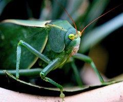 A Leafy Insect