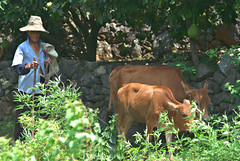 Cows to Market (daveonhols) Tags: china 中国 guangxi 广西 xingping 兴平