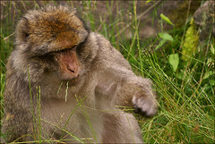 Grass-eating Barbary Macaque (Foto Martien) Tags: africa baby france zoo monkey algeria frankreich child kind atlasmountains alsace marocco frankrijk gibraltar a100 magot elsas monkeymountain elzas barbaryape hautrhin barbarymacaque kintzheim berberaap macacasylvanus sigmaapomacro70300 affenberg montagnedessinges specanimal berberaffe sonyalpha100 mywinners flickrdiamond theunforgettablepictures macaqueberbre apenberg martienuiterweerd martienarnhem