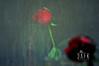 لونظرت بعين قلبك شفتني ' مامعي مخلوق يستاهل غلاك (« 3 a F K » London!) Tags: red rose uae alkhater 3afk nikond5000