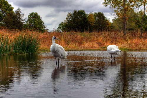 Whooping Cranes in HDR
