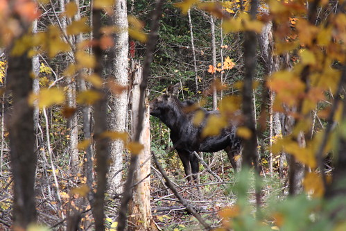 It`s a bird...a plane... No!  It`s a moose! October