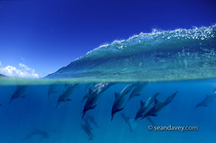 Dolphin Peak (Sean Davey Photography) Tags: blue color horizontal wave clean clear seethrough transparent splitlevel crystalclear bluehawaii vividcolor seamammal transparentwater hawaiiunderwater seandavey oceanunderwater hawaiianspinnerdolphins hawaiisea clearocean dolphinunderwater seamarine hawaiisealife cleanocean dolphinsdiving