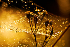 The Smell of Bokeh. (Neal.) Tags: light shadow sunlight dark gold golden scotland drops weed shiny bokeh web dew theworldwelivein niffty clanflickr