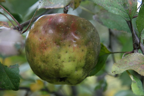 ugly apple
