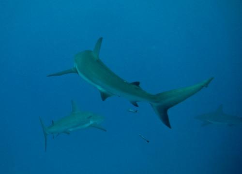 Shark finning, sharks, shark week