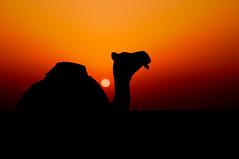 untitled* (Sanctuary photography  back ! maybe :p) Tags: sunset red sky orange sun black colors silhouette yellow nikon desert camel burn p  d300