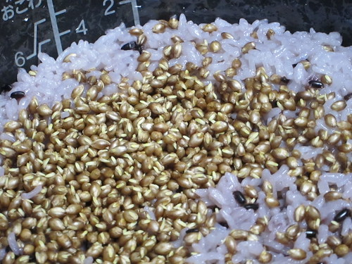 黄金の香味 発芽大麦