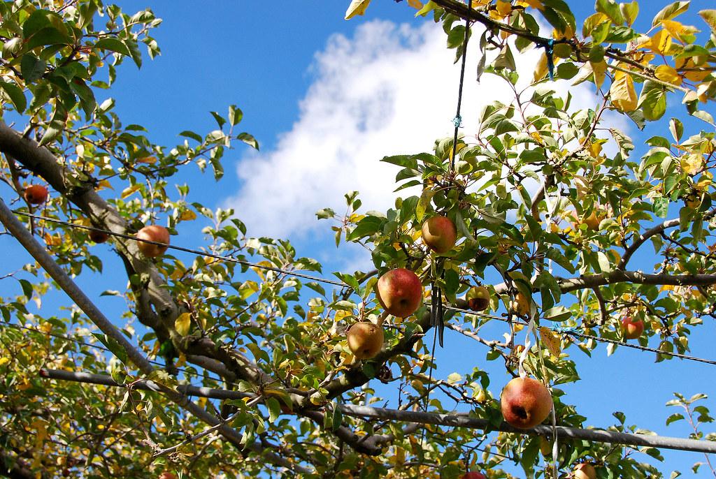 粉香的蘋果