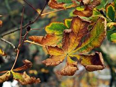 closure (werewegian) Tags: autumn brown tree green leaves death gold leaf dry olympus curl linwood day307 nov09 werewegian photoaday2009 nov09linwood