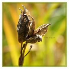 (..judith..) Tags: autumn nature garden marco natureart exloo coth judithschipper