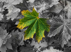Colour! (Finally :D) (JemmaJusticePhotography.) Tags: camera white black colour tree green art leaves yellow contrast photoshop newcastle lens photography justice leaf zoom adobe finepix fujifilm greyscale jemma cs4 focal jemmysaur jemmaammej