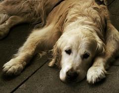 Temperament / Temperamento (SantiMB.Photos) Tags: españa dog pet animal goldenretriever spain perro galicia galiza pontevedra draganized vacaciones2009