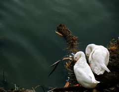 U & I ... Built For Each Other.. (o B o N iL) Tags: duck pond nikon coolpix tangail s550 bnagladesh nsupc obonil