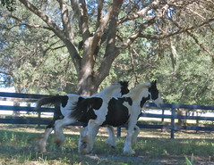 (The Pelton Vanners Gypsy Vanner Horses) Tags: horses horse riding cob gypsy foal vanner gypsyvanner gypsycob gypsyvannerhorses
