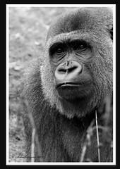 Gorilla (schalkselynx) Tags: blackandwhite animals canon eos zoo zwartwit nederland zwart dieren apes apenheul apeldoorn zw dierentuin dierenpark apen 50d schalkselynx