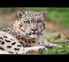 Indeever and green... (Tambako the Jaguar) Tags: wild portrait plants male cat zoo switzerland big nikon feline zurich kitty fluffy frame zrich lying snowleopard d300 schneeleopard snowkitty uncia panthredesneiges vosplusbellesphotos
